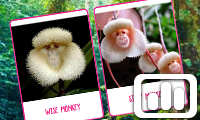 Poll: Monkey Orchids